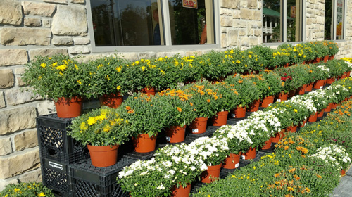 Fall Mums, 3.99 for 8-inch Pot, now on sale at all Hometown Markets